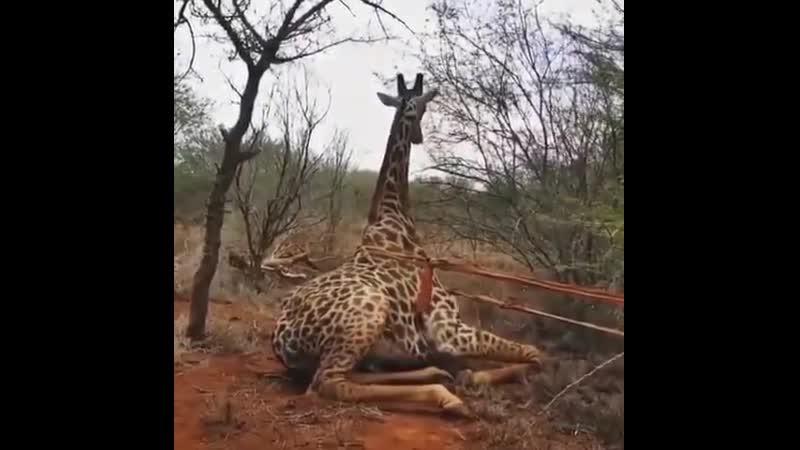 Как поднимаРи жирафа Рруппа Опасная ПРанета