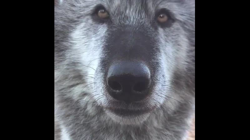 Ох уж эта волчья мордашка Какой красавец