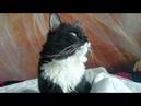 Без монтажа. Просто кот. Наглый кот. Которые мешает менять постельное белье / Bed linen change cat
