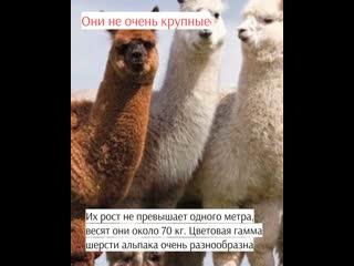 Познавательные факты об альпака: самое милое существо