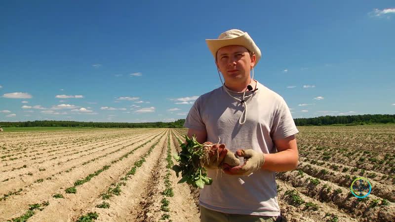 Серия №3 Защита картофеля препаратами компании Bayer