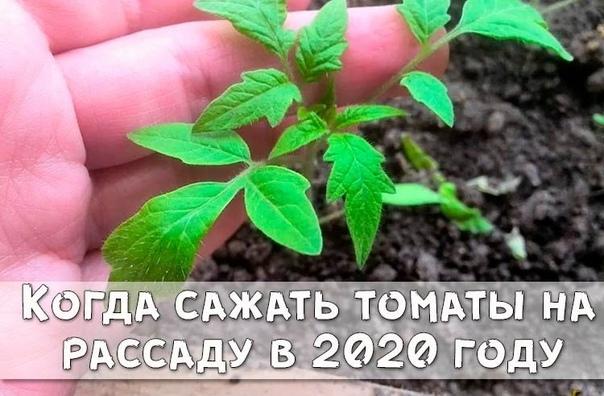 Когда сажать томаты на рассаду по Лунному календарю в 2020 году