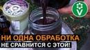 ОБРАБОТАЙТЕ ЭТИМ ПЛОДОВЫЕ ДЕРЕВЬЯ ПОСЛЕ СБОРА УРОЖАЯ! Рецепт красного раствора от Ивана Русских