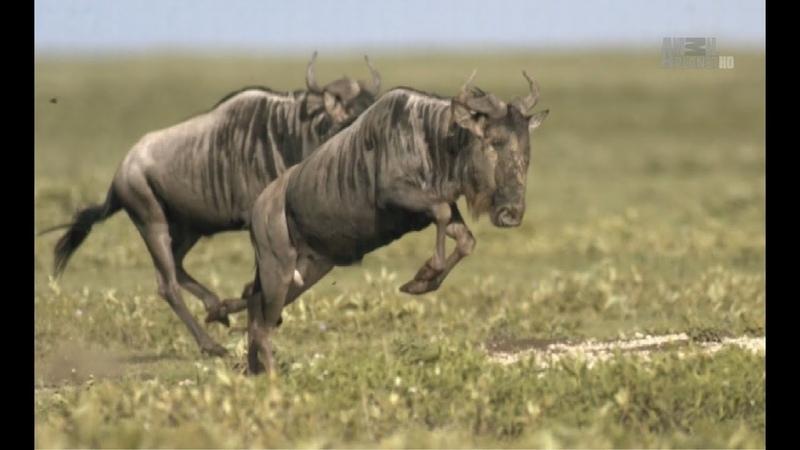 В дебрях Африки Нгоронгоро Рождённый в огне Документальный фильм Animal Africa E03