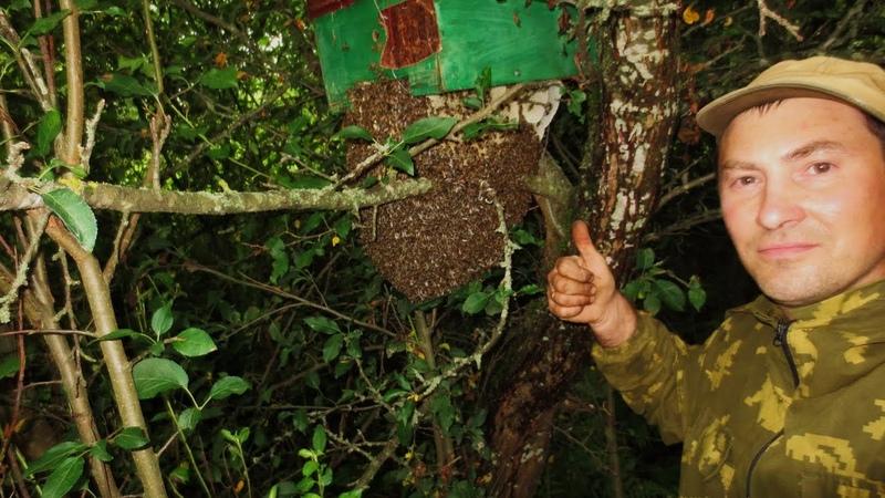 Пчеловодство Супер рой жил месяц под ловушкой пока я не приехал Снял 4 бродячих роя за день в лесу