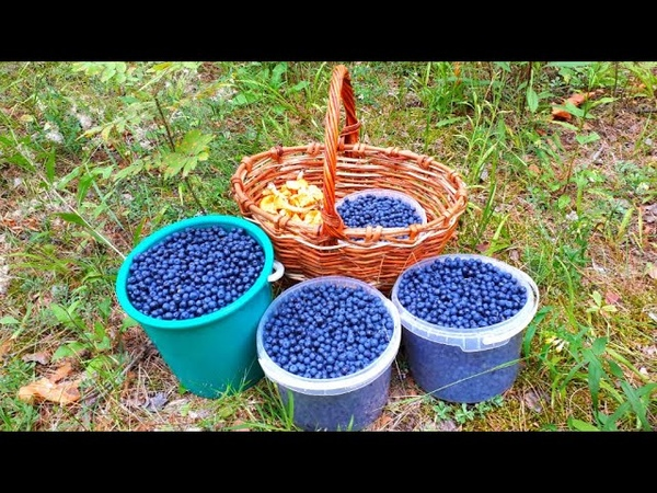 МНОГО ЧЕРНИКИ Целые плантации Ягоды и грибы 2020 Черника в июле