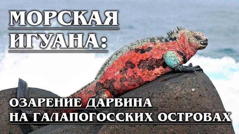 МОРСКАЯ ИГУАНА Единственная ящерица которая может провести целый час под водой