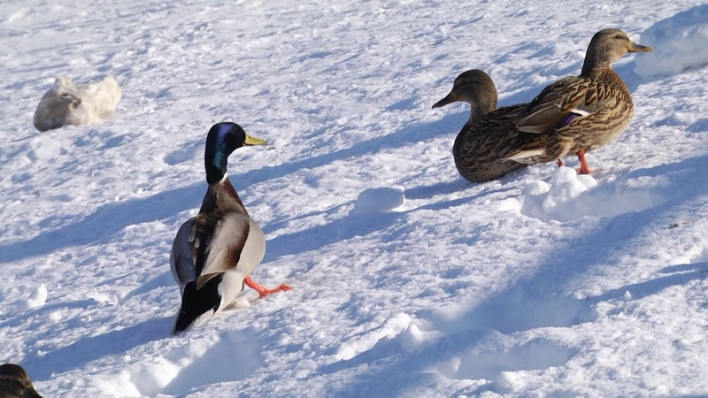 Как помочь зимующим лебедям и уткам чтобы не навредить