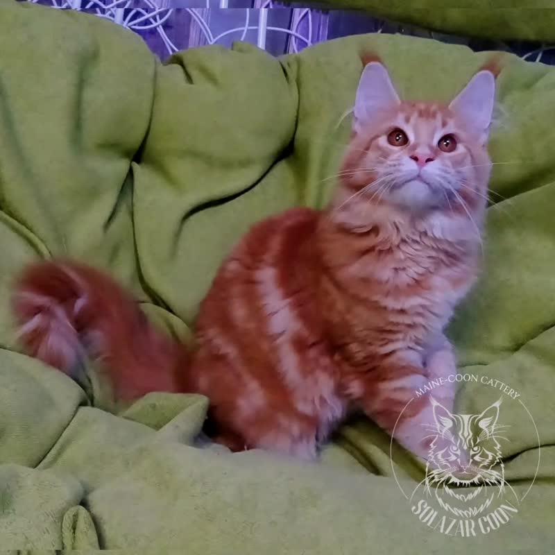 Котята мейн-кун .mp4