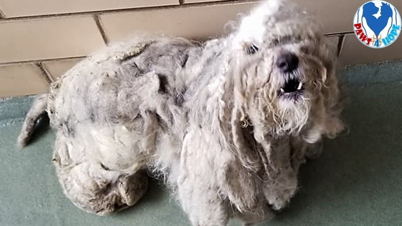 Rescue Poor Dog With 4 lbs Of Matted Fur All Over His Body Was Found Under a Bush In Terrible Shape