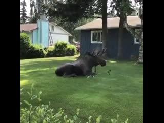 Вот такой гость - лось в жару пришёл освежиться  -