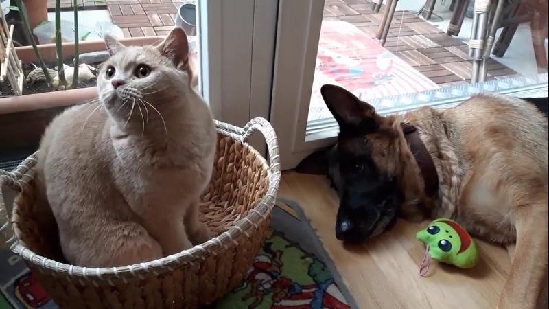 Как кошка с собакой. Овчарка и кот в квартире друзья на всю жизнь!
