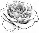 drawings of roses - 826×968