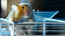 Hamster Escapes Cage To Go Exploring!   Pets: Wild At Heart   BBC Earth