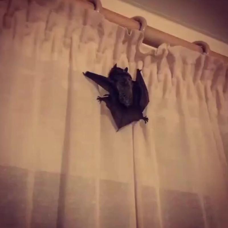 Летучая мышь залетела в дом