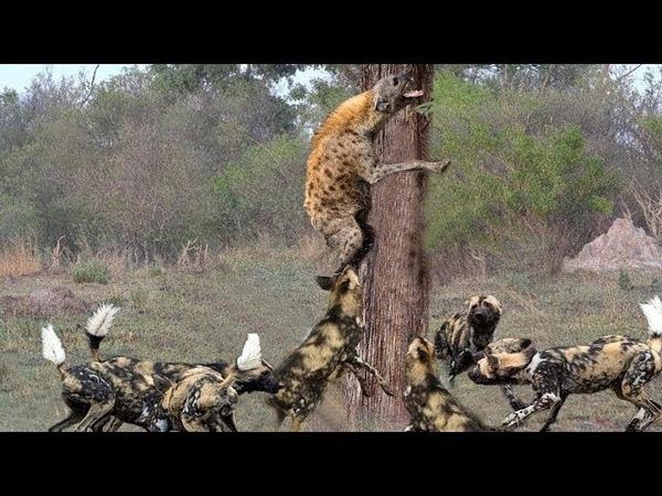 Linh cẩu không ngán gì vua sư tử lại là nỗi nhục quốc thể khi gặp loài động vật này Não động vật