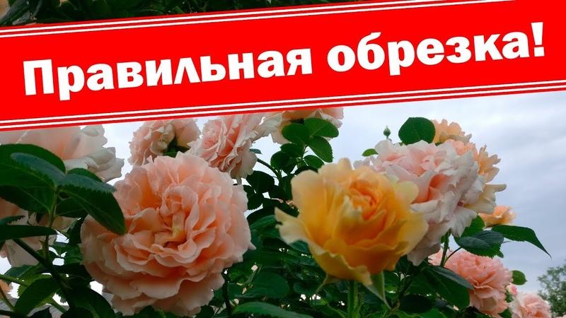 Правильная обрезка плетистых роз после цветения бордюрных роз Летняя подкормка роз