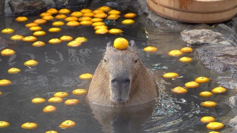 Capybara with mandarin orange on head in the open air bath☆みかんを頭にのせるカピバラ 伊豆シャボテン動物公 222